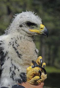 ringing chick