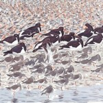BINKnot-Oystercatchers-Redsha
